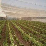 El Sitio Cigar Tobacco fields La Palma