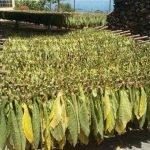 Finca El Sitio La Palma Tobacco Leaf Curing